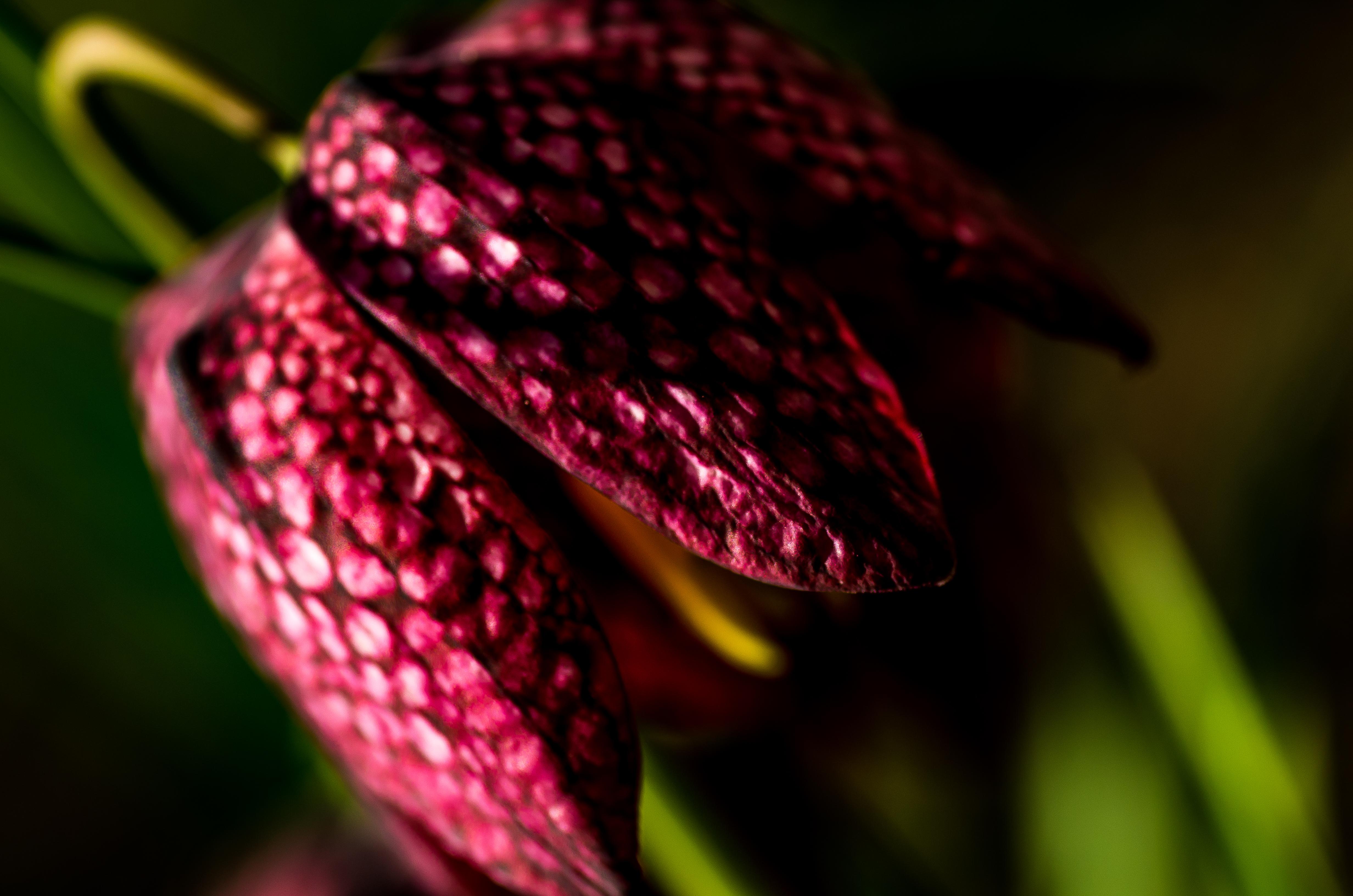 Schachbrettlilie