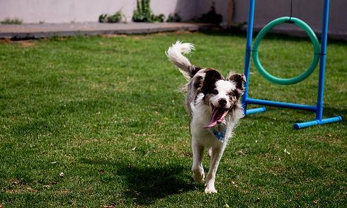 Na Creche para cachorro PetSkill em Maringá seu cachorro vai poder Expressar comportamentos naturais