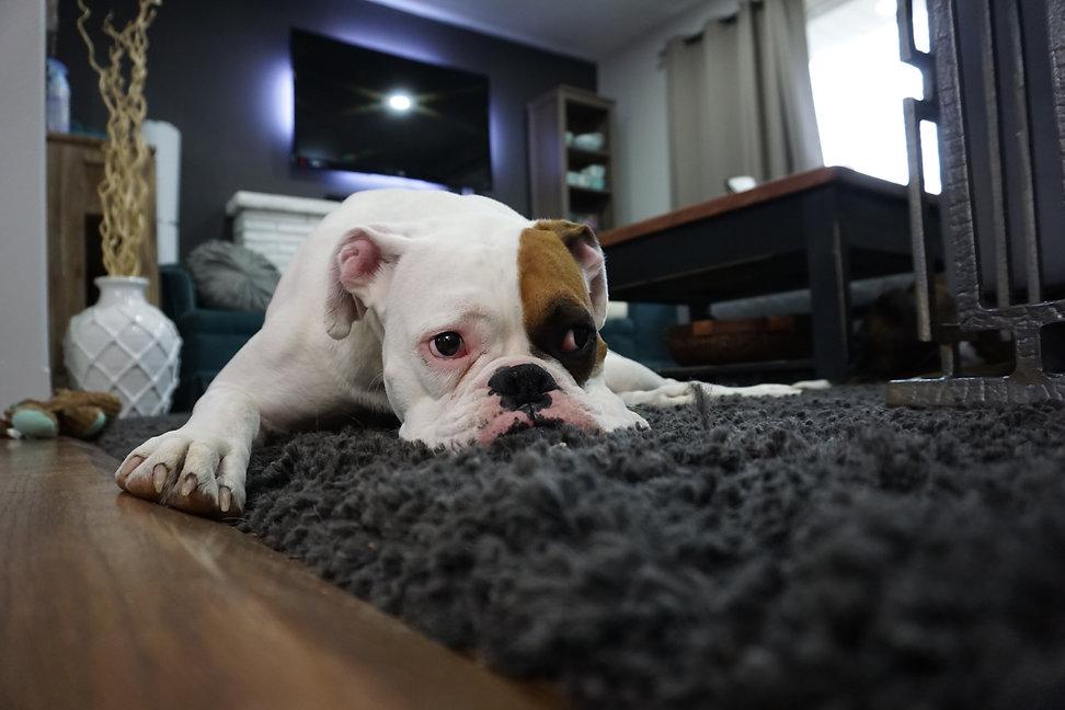 Creche para cachorro, creche canina, daycare cães em Maringá PetSkill