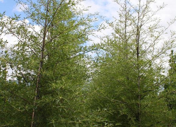 ALNUS GLUTINOSA IMPERALIS CUT LEAF ALDER tree in new zealand