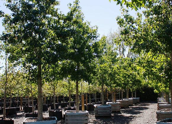 LIQUIDAMBAR STYRACIFLUA AMERICAN SWEET GUM tree in new zealand