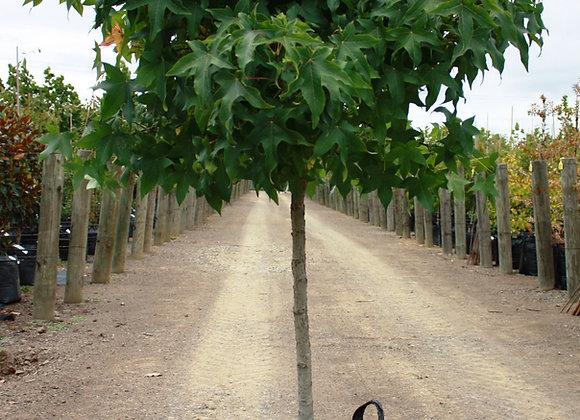 LIQUIDAMBAR STYRACIFLUA GUMBALL LIQUIDAMBAR tree in new zealand