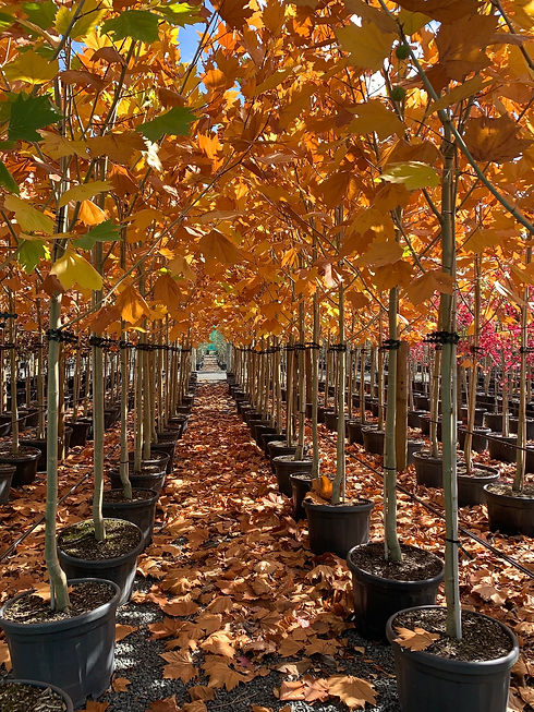 Icon trees nursery in new zealand contact us