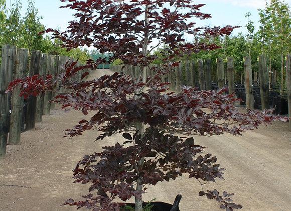 FAGUS SYLVATICA PURPUREA COPPER BEECH tree in new zealand