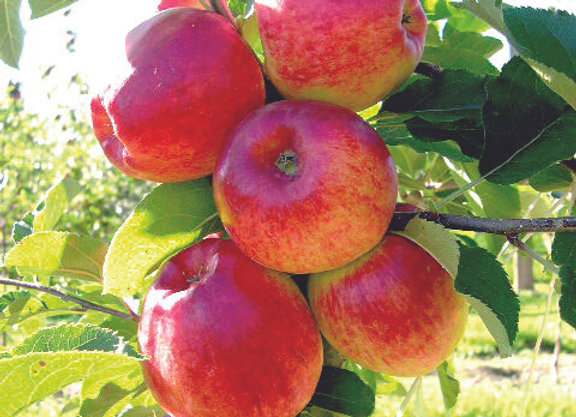 MALUS DOMESTICA INITIAL INITIAL APPLE tree in new zealand