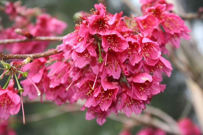 Prunus campanulata Felix jury.JPG