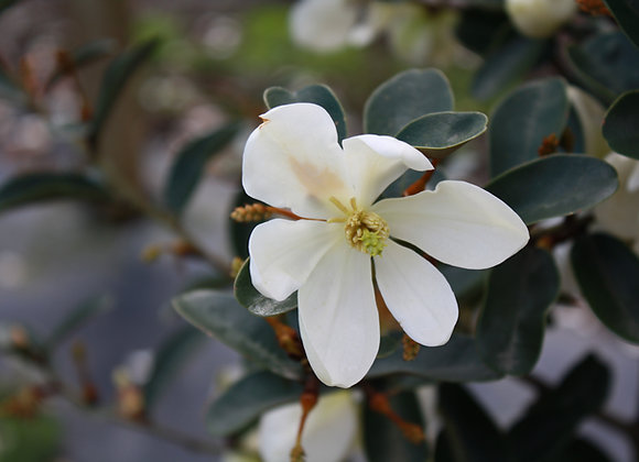 MICHELIA YUNNANENSIS In New Zealand