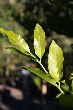 Dysoxylum leaf 1.JPG