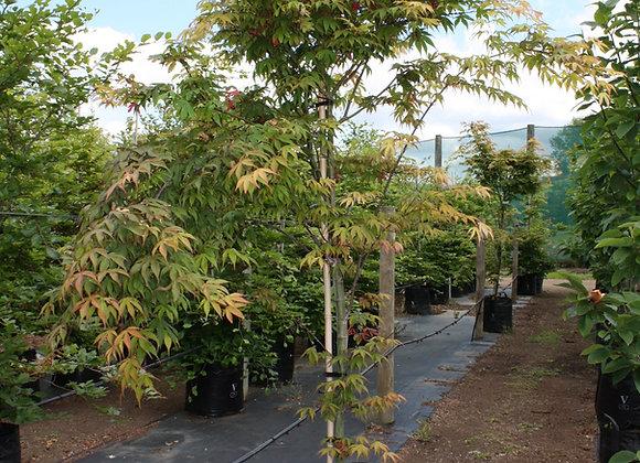 ACER PALMATUM OSAKAZUKI JAPANESE MAPLE tree in new zealand