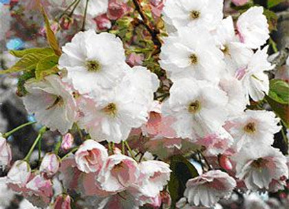 PRUNUS SHIMIDSU SAKURA JAPANESE CHERRY In New Zealand