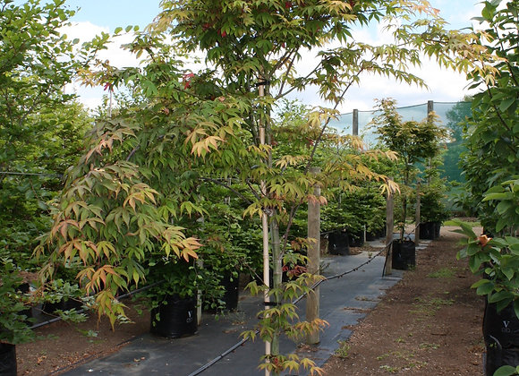 ACER PALMATUM BURGUNDY LACE JAPANESE MAPLE trees in new zealand