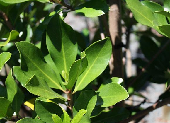 CORYNOCARPUS LAEVIGATUS KARAKA tree in new zealand