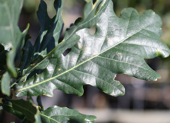 QUERCUS ROBUR FASTIGATA UPRIGHT ENGLISH OAK TREE IN NEW ZEALAND