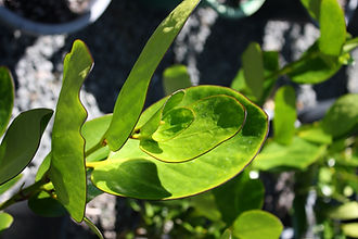 Griselinia lucida leaf.JPG