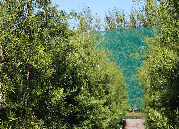 PODOCARPUS GRACILIOR FERN PINE In New Zealand