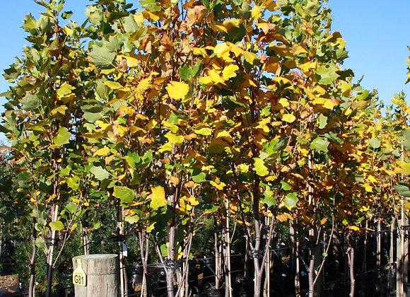 LIRIODENDRON TULIPFERA FASTIGATA TULIP TREE In New zealand