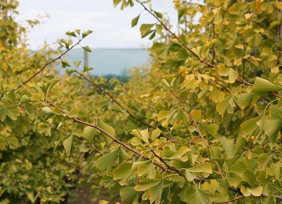 GINKGO BILOBA AUTUMN GOLD MAIDENHAIR tree in new zealand