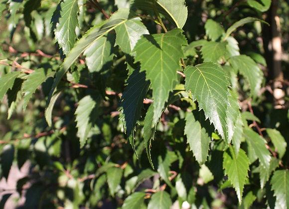 ALNUS JORULLENSIS EVERGREEN ALDER tree in new zealand