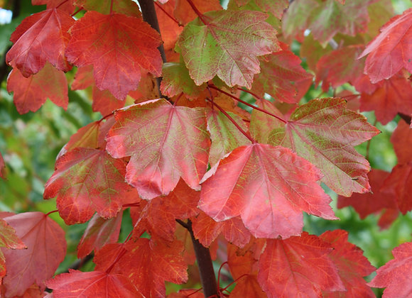 ACER RUBRUM COLUMNARE RED OR CANADIAN MAPLE tree in new zealand