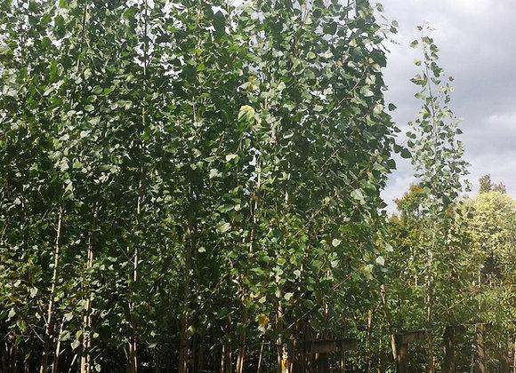 POPULUS CROWS NEST CROWS NEST POPLAR tree in new zealand