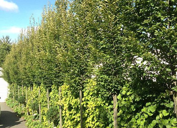 CARPINUS BETULUS FASTIGATA UPRIGHT HORNBEAM tree in new zealand