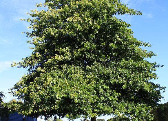QUERCUS PALUSTRIS PIN OAK IN NEW ZEALAND