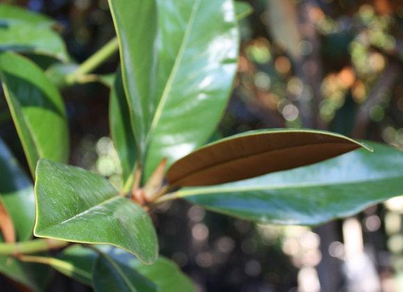 MAGNOLIA GRANDIFLORA EVERGREEN GRANDIFLORA MAGNOLIA tree in new zealand