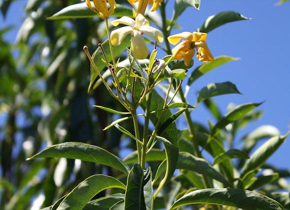 HYMENOSPORUM FLAVUM AUSTRALIAN FRANGIPANI tree in new zealand