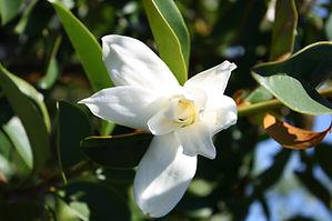 Michelia starbright flower in new zealand