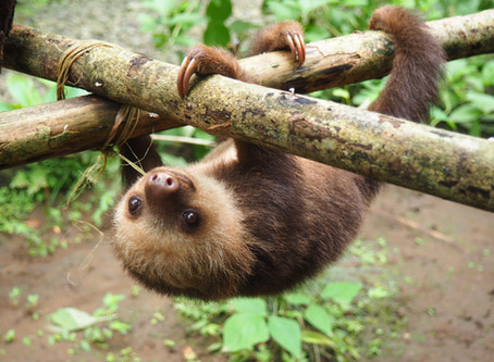 Life in the Sloth Lane by Lucy Cooke--                       Sloths Appear to Practice Mindfulness