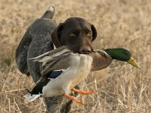 Gun Dog Training Classes