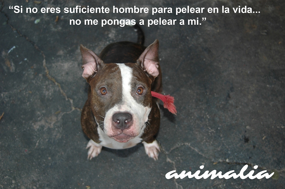 Pitbull raza incomprendida
