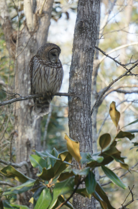 Our resident barred owl.