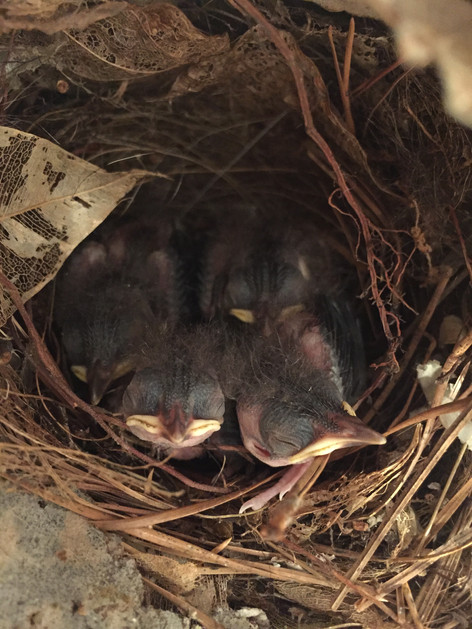Five baby wrens halting the use of the spray booth until they are able to fly.