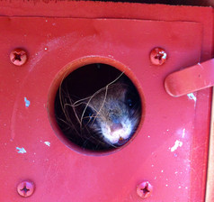 A Southern Flying Squirrel taking over our Blue Bird box.