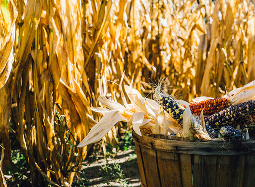 Shavuot- The agricultural festival and the giving and receiving of the Torah