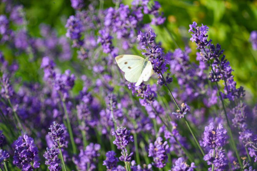 Schmetterling_1415.jpg
