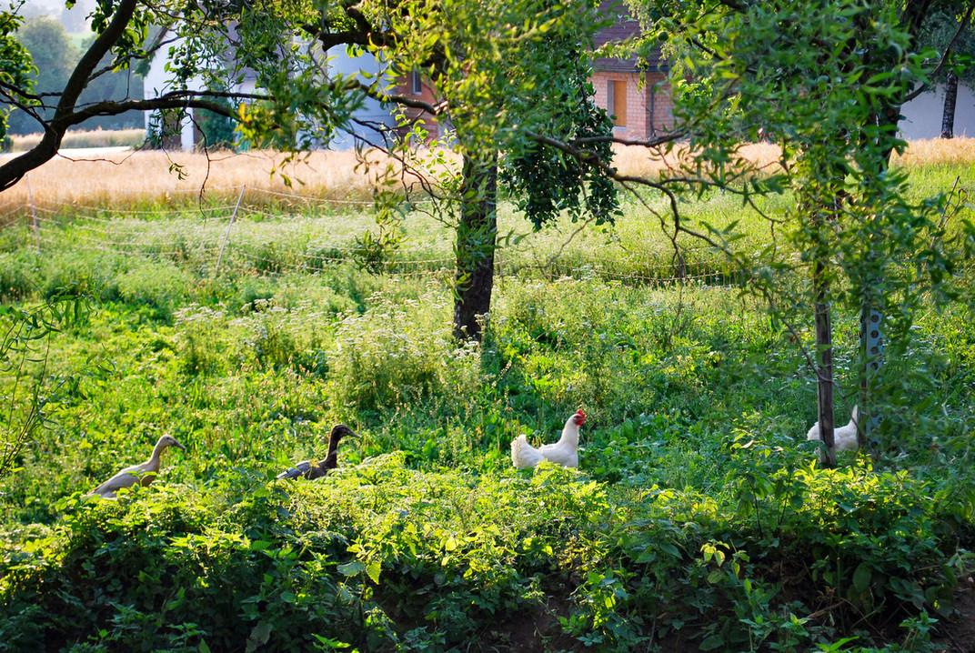 Hühner_Enten_0088.jpg
