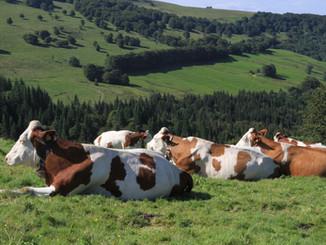 cows-1972285_1920.jpg