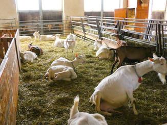 Ziegenhof Milchziegen