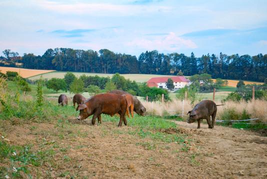 Schweinerudel_0241.jpg