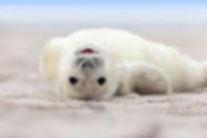 Baby Grey Seal (Halichoerus grypus) Rela