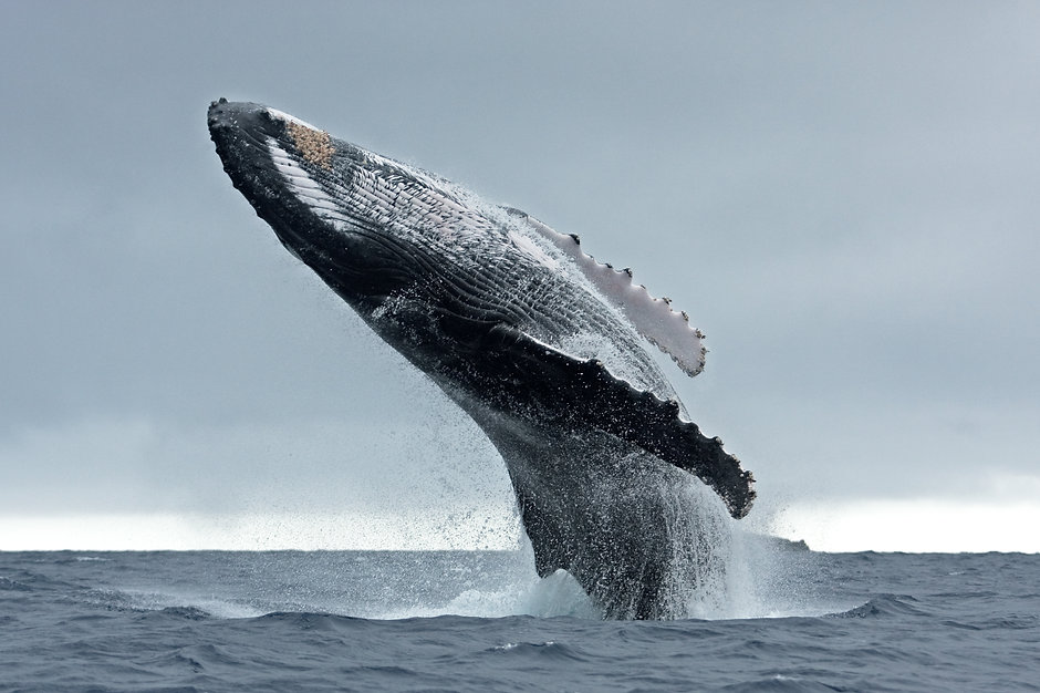 humpback whale, megaptera novaeangliae,