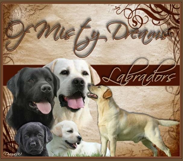 Elevage Labradors Chiots Labradors noirs, sables et chocolats disponibles Labradors Of Misty Dreams