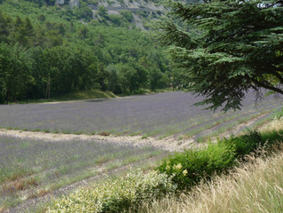 Fresh from the Lavender fields of South France