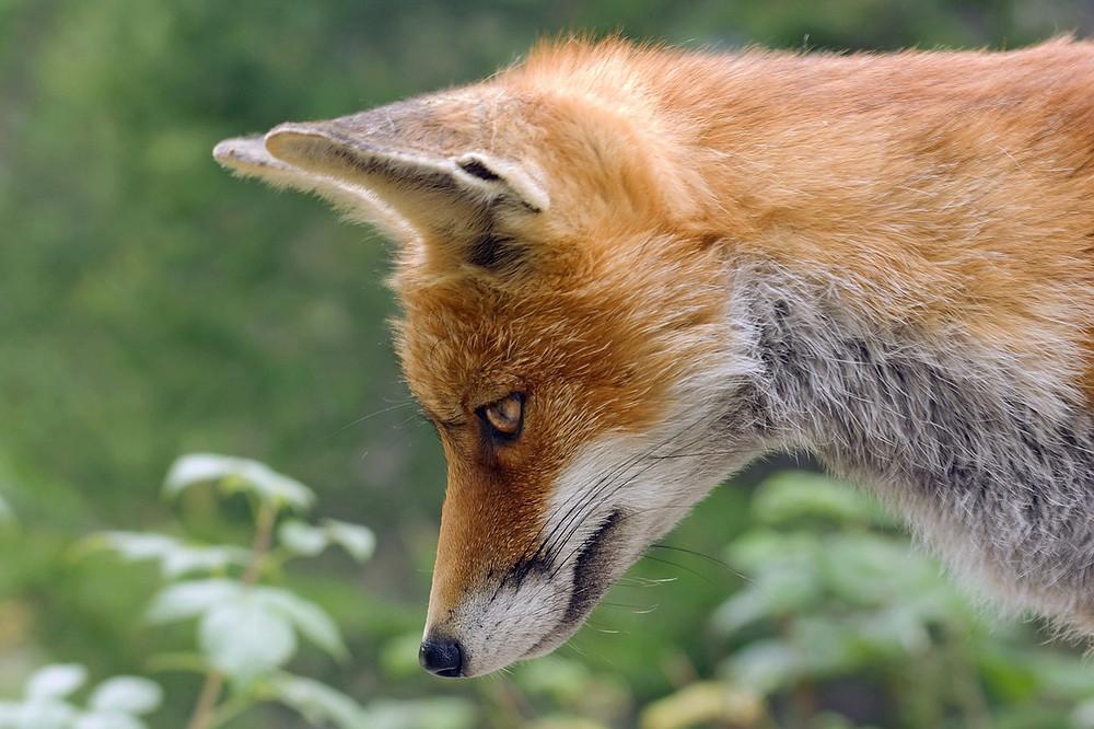 Raposa Vermelha - Personagem do jogo Crash Bandicoot