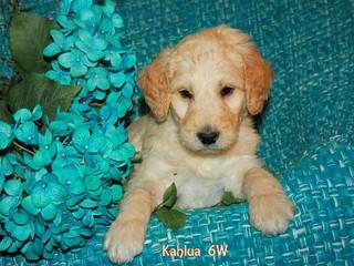 Kahlua 6 weeks old