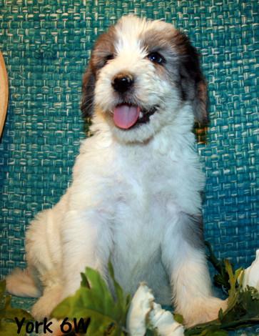 York, male, 6 weeks old