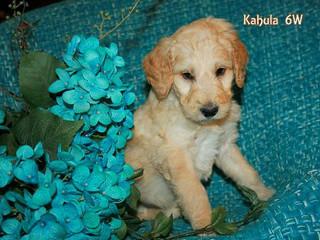 Kahlua, 6 weeks old