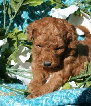 Goldendoodle female puppy, Dale Evans at 4 weeks old.